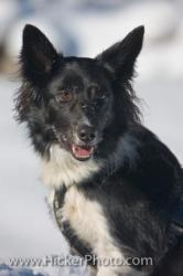 Picture Of A Cute Border Collie Dog