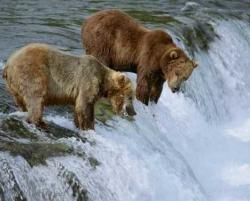 Brown Bears Fishing Katmain National Park