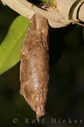 Butterfly Cocoon Picture