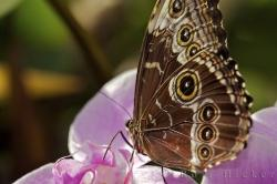 Butterfly Common Blue Morpho
