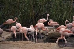 Chilean Flamingos
