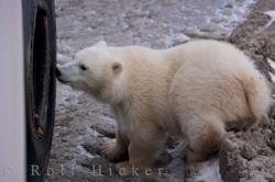 Cute Baby Polar Bear Tundra Buggy Exploring