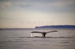 printable humpback whale pictures