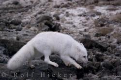 Arctic Fox Hunting Hudson Bay Coastline