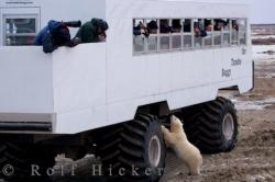 Manitoba Polar Bear Tundra Buggy Tours
