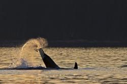 Orca Tail Lopping Sunset