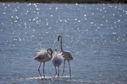 Phoenicopterus Roseus Greater Flamingo Birds Camargue France