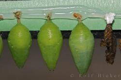 Picture Of Butterfly Chrysalis