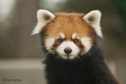 Funny Animals Cute Red Panda