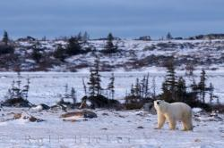 Polar Bear Winter Arrival Hudson Bay Churchill