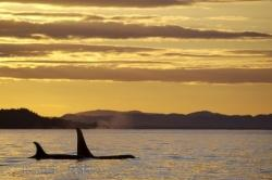 Surfacing Orca Northern Vancouver Island