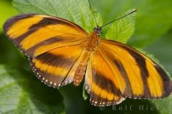 Tiger Butterfly On A Leaf