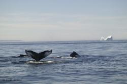 Whales And Icebergs Of Newfoundland