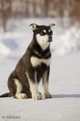 Young Husky photo