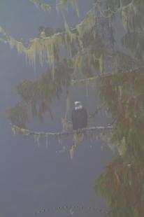photo of Surreal bald eagle in fog Great Bear Rainforest