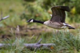 photo of Canada Goose Flying