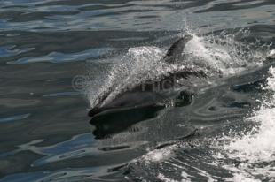photo of white sided dolphin
