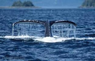 photo of Humpback Whale Tail Dripping Water