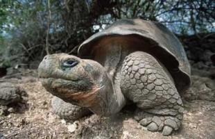 photo of Old Huge Galapagos Tortoise