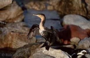 photo of cormorant