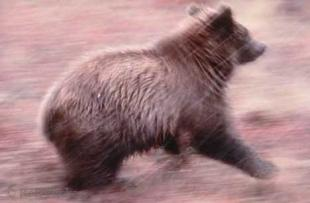 photo of Grizzly Bear Running