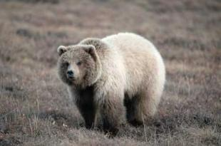photo of ursus arctos horribilis Inland Grizzly Bear