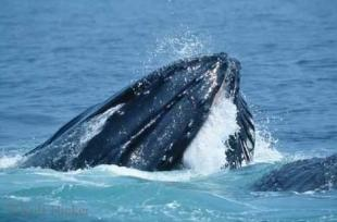 photo of Humpback Whale Feeding Cape Cod