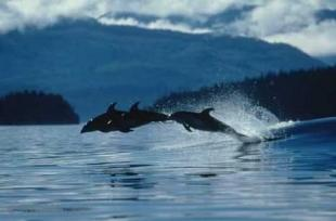 photo of Dolphins Bow Riding