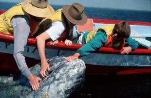 photo of Grey Whales