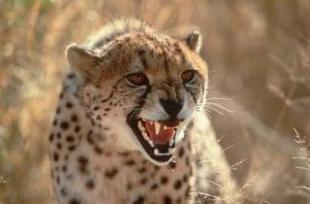 photo of Cheetah Picture
