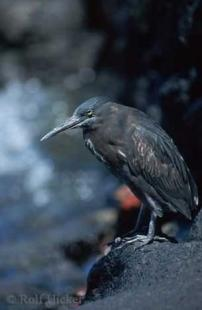 photo of lava heron