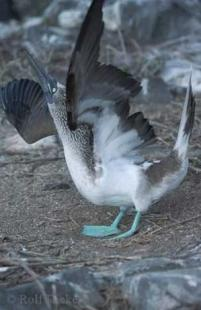 photo of Blue Footed Booby Bird Photos