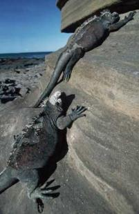 photo of Marine Iguana