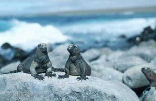 photo of Galapagos Island Wildlife Marine Iguanas