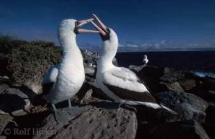 photo of masked booby birds