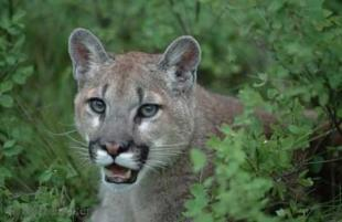 photo of Mountain Lion Cougar
