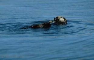photo of sea otters