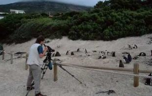 photo of Jackass Africa Penguin Photos