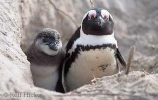 photo of african penguins