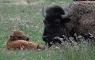 photo of American Bison