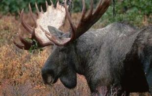 photo of Large Moose Bull Alaska