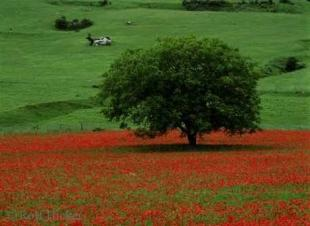 photo of Poppy Field Italy