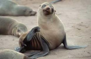 photo of African Fur Seal