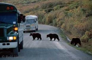 photo of Alaska Grizzly Bears