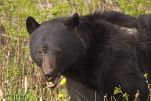 photo of amercian black bears