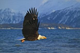 photo of American Symbols Bald Eagle
