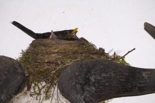 photo of Amsel Bird Nest Animal Skull Freising Bavaria Germany