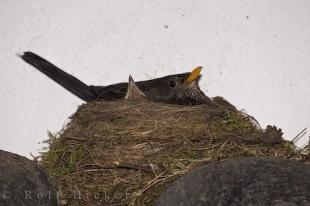 photo of Amsel Bird Nest Roosting Chick