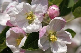 photo of Apricot Flowers