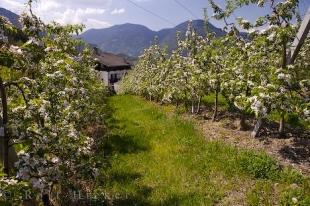 photo of Apricot Orchard South Tyrol Northern Italy